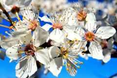 009 Kirschblüte