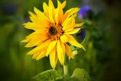 007 Sonnenblume